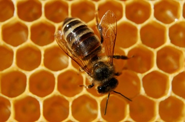 Decline in Bee colony due to pesticides