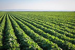 Soybean_Field.jpg
